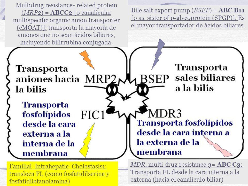 Multidrug resistance- related protein (MRP2) = ABCC2 [o canalicular multispecific organic anion transporter (cMOAT)]: transporta la mayoría de aniones que no sean ácidos biliares, incluyendo bilirrubina conjugada.